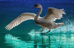 Alighting Swan 2 by Brian Stevens