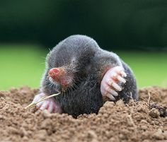 week in wildlife: Mole (talpa europaea) rarely seen above ground. Photograph by David Cole for the Prince's Countryside Fund competition.
