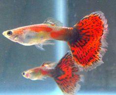 Red Dragon Male Guppy