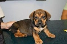 Real Animals Lover Will Love These Dog Crossbreeds. Bulldach - English Bulldog and Dachshund.