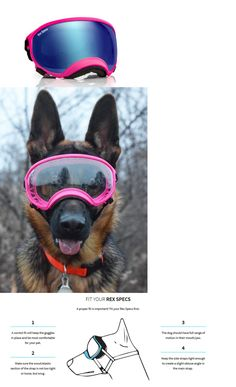 Sunglasses and Goggles 116376: Rex Specs Dog Goggles Large Pink Frames Blue Revo Lens Uv400 Protective Eye Wear -> BUY IT NOW ONLY: $79.95 on eBay!