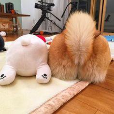 Maru: Le chien le plus populaire auprès des japonais Shiba Inu, Animals And Pets, Cute Animals, Japanese Dogs, Japanese Akita, Tallest Dog, Small Dog Breeds, Cute Images, Dog Life