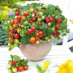 Die Zwerg-Tomate 'Primabell' ist die ideale Tomatenpflanze für den Anbau im Garten, auf dem Balkon und auf der Terrasse. Sie gedeiht im Topf ebenso wie im Beet und im Gewächshaus und ist aufgrund ihrer Größe die ideale Nasch-Tomate.Die Tomate 'Primabell' ist eine sehr kompakt wachsende Tomaten...