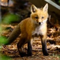 Red Fox cub by Dave Small Fuchs Silhouette, Baby Animals, Cute Animals, Fantastic Fox, Red Pictures, Pet Fox, Animals Of The World, Wildlife Art, Animal Kingdom