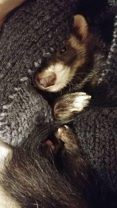 Sweet baby ferret Kali the destroyer http://ift.tt/2mrA6q0