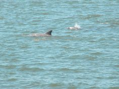 Dolphins at Cape May