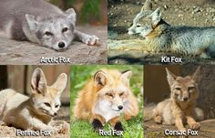 Check out the latest updates about swift foxes! Meet More Animals! Fox Facts, Swift Fox, Weird But True, Fennec Fox, Arctic Fox, Arctic Circle, Save Animals, Red Fox, Central America
