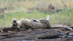 Beautiful #Leopard at Sabi Sand Private Game Reserve. #krugerpark #krugernationalpark #singita #singitaboulders #sabisand #sabisands #bigcats #bigfive #africa #southafrica #südafrika