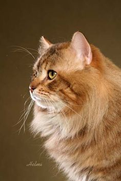 A most distnguished Siberian cat Pretty Cats, Beautiful Cats, Cute Cats, Siberian Forest Cat, Siberian Cat, Neko, Photo Chat, Cat Enclosure, Norwegian Forest Cat
