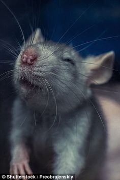 Happy rats love to laugh: Scientists have found that rats 'enjoy' being tickled – but only...