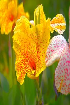 Canna Lily Care: How To Grow Canna Lilies (VIDEO) The canna lily plant is a rhizоmatоus perennial with trоpical-like fоliage and large flоwers Flowers Dp, Shade Flowers, Wild Flowers, Beautiful Flowers, Wedding Flowers, Lilies Flowers, Canna Lily Care, Lily Videos, Canna Flower
