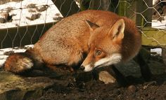 How Farm Foxes Provide Insights on Dog Domestication and Behavior