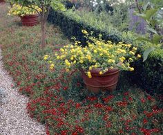 jardin sec avec Delosperma Red Mountain