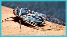 cicada profile - Google Search