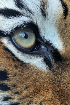 Eye of the Tigress by Josef Gelernter on 500px