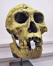 Dmanisi skull 3 - Wikipedia