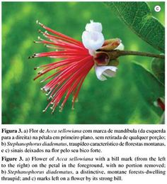 Biota Neotropica - Floral titbits: petals of Acca sellowiana (Myrtaceae) as a food source for birds in an urban area in Southern Brazil