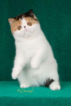 Purfurvid: Exotic Shorthair Cats & Persian Cats - GC Purfurvid Pop Gun of Toxicate