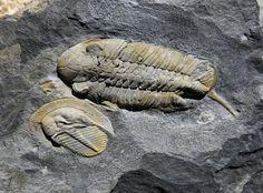 Eoharpes cristatus