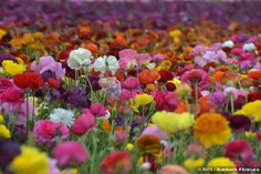 I really want to go here! These are my favorite flowers, and they are in bloom!