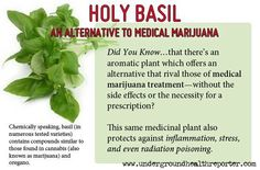 Basil is recommended by The University of Maryland Medical Center (UMMC) as a first-line treatment for post-traumatic stress disorder . and hypoglycemia. According to UMMC, basil may even protect the body from harmful radiation exposure. Health And Nutrition, Health Tips, Health And Wellness, Vegetable Nutrition, Healing Herbs, Natural Healing, Au Natural, Holistic Healing, Natural Living