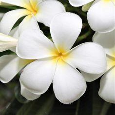 Plumeria Care, Plumeria Flowers, Carlsbad Flower Fields, Easy To Grow Bulbs, Plant Cuttings, Fall Plants, Plant Sale, Tropical Garden, Outdoor Plants