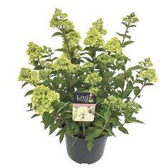 Hydrangea paniculata 'Little Lime' D 19 cm