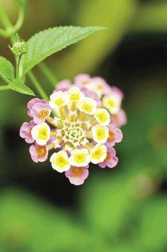 Hoa thơm ổi: Chất độc lantanin alkaloid hoặc lantadene A sẽ gây bỏng rát đường ruột, rối loạn tuần hoàn máu và dẫn đến tử vong nhanh chóng nếu ăn phải.