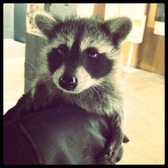 #cute #raccoon