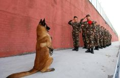 An army dog stands up as retiring soldiers salute their guard post before retirement in Suqian, Jiangsu province, China November REUTERS/Stringer War Dogs, Police Dog Breeds, Police Dogs, Military Working Dogs, Military Dogs, Military Service, Pastor Belga Malinois, Canis Lupus, Dog Soldiers
