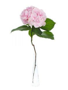 """Hortensie der Sorte """"Verena"""" rosa als Schnittblume - Saison im Mai, Juni, Juli, Augsut und September. #schnittblumen #blumen #hortensien #hochzeitsblumen #hochzeitsdeko #weddingflowers #hydrangea #hochzeit"""