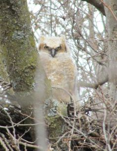 Baby Great Horn Owl I spotted while walking down the old railroad trail in Decorah IA