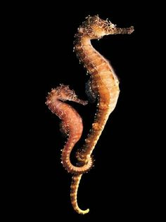 Seahorses are very interesting too me. I heard an interesting fact -they adapt to their enviroment and change colors.