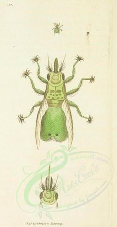 locusta, 050 - high resolution image from old book. Nature Illustration, Vintage Graphic, Insects, Collage, Clip Art, Victorian, Scrapbook, Fabric, Pictures