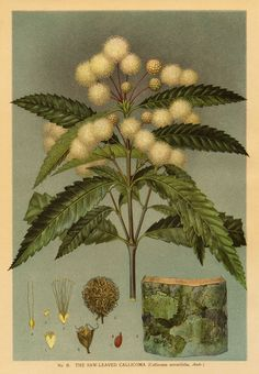 Botanical Illustration Callicoma serratifolia Black Wattle artist: Edward Minchen from: 'The Flowering Plants and Ferns of New South Wales - Part by J H Maiden NSW Government Printing Office Vintage Botanical Prints, Botanical Drawings, Botanical Art, Vintage Art, Nature Illustration, Floral Illustrations, Nature Prints, Art Prints, Australian Native Flowers