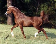 Padron (Patron x Odessa) U.S. National Champion Arabian Stallion and a Sire of significance.