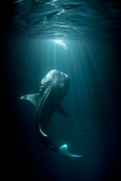 Credit: Thomas P. Peschak A whale shark approaches the lights of a small fishing boat in Djibouti's Gulf of Tadjoura.