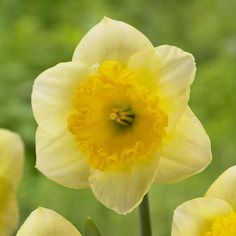 Various Yellows, Daffodil Narcissus Large Cupped Curly #fallisforplanting