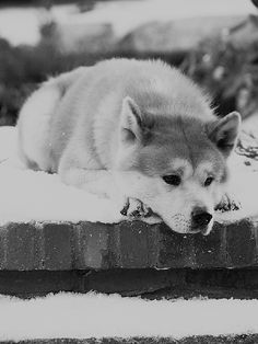 "This movie and story, Hachi or, Hachiko, is exactly why I want an Akita. Such a touching movie :""( Akita Dog, Akita Puppies, Lab Puppies, Richard Gere, Hachi A Dogs Tale, Elephant Man, Canal Plus, A Dog's Tale, Cutest Animals"