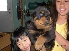 15 Best Rottweiler Images On Pinterest Rottweiler Rottweilers And