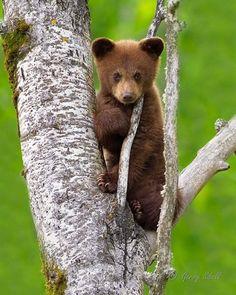 Brown Bear, Cute Animals, Bears, Photos, Animales, Brown Bears, Pretty Animals, Pictures, Cutest Animals