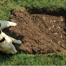how to get rid of lawn grubs naturally australia