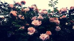 Even more beautiful roses :D Beautiful Roses, My Arts, Plants, Flora, Plant