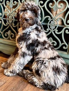 A Complete Guide to Merle Labradoodle - Labradoodles & Dogs Blue Merle, Cute Baby Animals, Animals And Pets, Cute Puppies, Cute Dogs, Corgi Puppies, Doodle Dog Breeds, I Love Dogs, Big Dogs