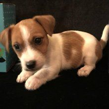 Matilda, Jack Russel Terrier puppy