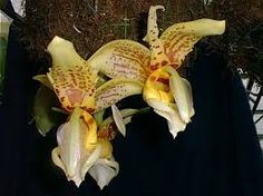 Image result for stanhopea orchids