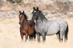 South Steens Wild Horses M112160 Prints, canvases, greeting cards and other items available on my website.