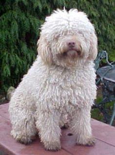 spanish water dog - Google Search