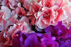 Begonia, una flor de insuperable en belleza