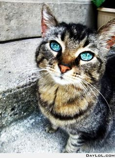 Kitteh with beautiful blue eyes.  http://www.daylol.com/amazing-blue-eyes#.T85iBbckm8Q.pinterest